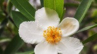 Loblolly Bay Gordonia lasianthus Theaceae What do tea, camellias, Franklinia, and Loblolly Bay have in common? They all belong to the Tea Family, and their saucer-shaped flowers look the same....