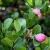 Coco Plum Chrysobalanus icaco Chrysobalanaceae Cocoplum must be the most-used and most-pruned native shrub in landscaping. Why can this species withstand the abuse of periodic hedge-clipping in the service of […]