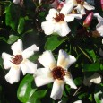 (aka Climbing Oleander) Strophanthus gratus Slip into your pith helmet and drift away from Florida and I-95 to the 19th Century Congo, where Sir Henry Stanley found Dr. David […]