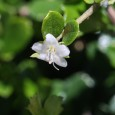 Carmona microphylla (Ehretia buxifolia) Boraginaceae Walking in downtown Miami yesterday, my eye was drawn to a particularly fine-looking, uniform, sharply clipped hedge. So I sauntered up for a look and […]