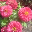 Zinnias can take the heat.  Behind my house is a big old flower pot that used to be in the front yard. It fractured, maybe hit by a car, so […]